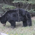 wl-banff-bear.JPG