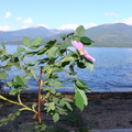 Wild Rose with Priest Lake