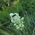 Bear Grass with Beetles
